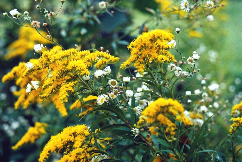 Примеры фото «Зенит-122» желтые и белые цветы