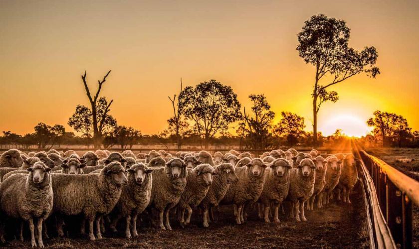 фотографии овец