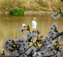 Цветение сакуры