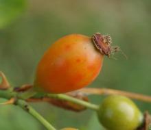 Плод шиповника