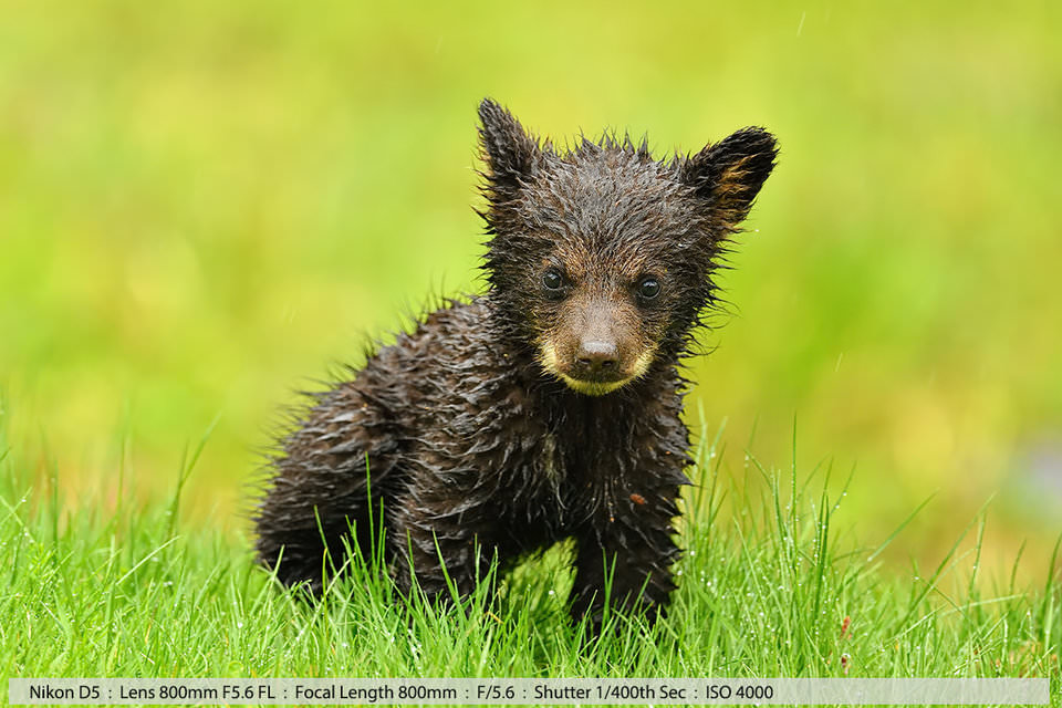 Маленький черный медвежонок под проливным дождем. Нью-Хэмпшир, 2016. Съемка с рук, камера лежит на мешочке с горохом, который используется в качестве опоры