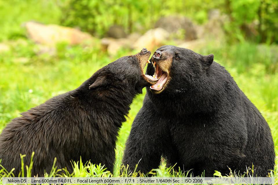 Черные медведь и медведица касаются друг друга губами во время брачного периода. Северный Нью-Хэмпшир, 2016 (съемка с рук).
