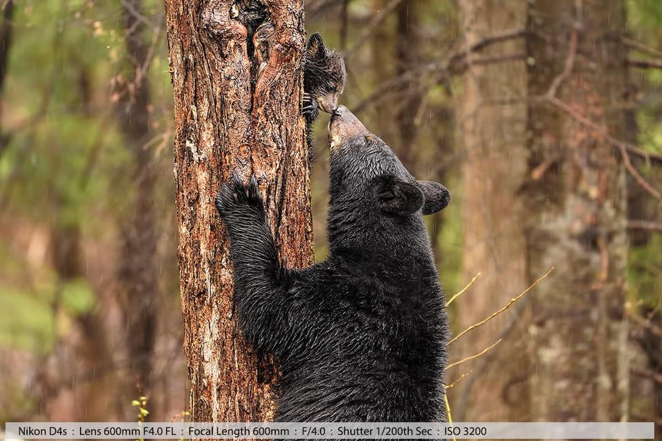 Черная медведица целует своего маленького медвежонка во время спуска с дерева. Северный Нью-Хэмпшир, 2016.