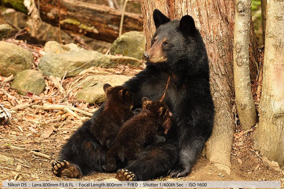 Черная медведица кормит двух маленьких медвежат в лесу, Северный Нью-Хэмпшир, 2016 (фото с рук с мешочком)