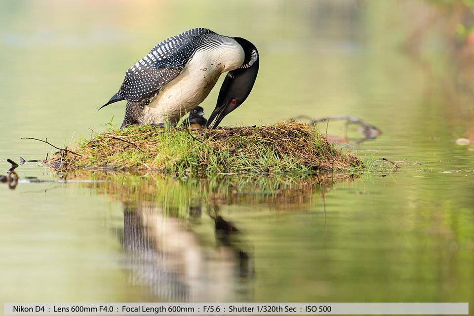 Полярная гагара кладет яйцо в гнездо, ее родившийся за день до того птенец наблюдает за этим. Литтлтон, Нью-Хэмпшир (съемка с рук с каноэ)