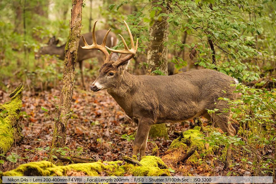 Белохвостый олень-самец ухаживает за самкой в лесной глуши Кейдс-Коува, Теннесси, 2016 (съемка с рук).