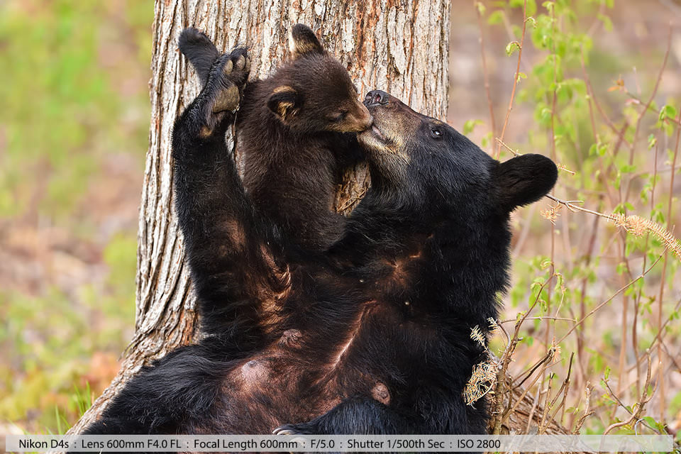Черная медведица целует и нежно направляет медвежонка к себе. Северный Нью-Хэмпшир (съемка с рук)